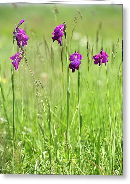 Wild Gladiolus (gladiolus Kotschyanus) Greeting Card by Bob Gibbons