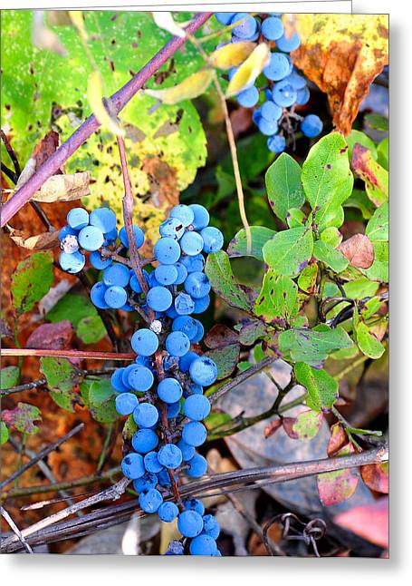 Wild Grapes Greeting Card by Todd Hostetter