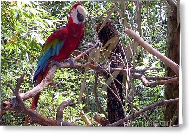 Greeting Card featuring the photograph Wild Hawaiian Parrot  by Joseph Baril