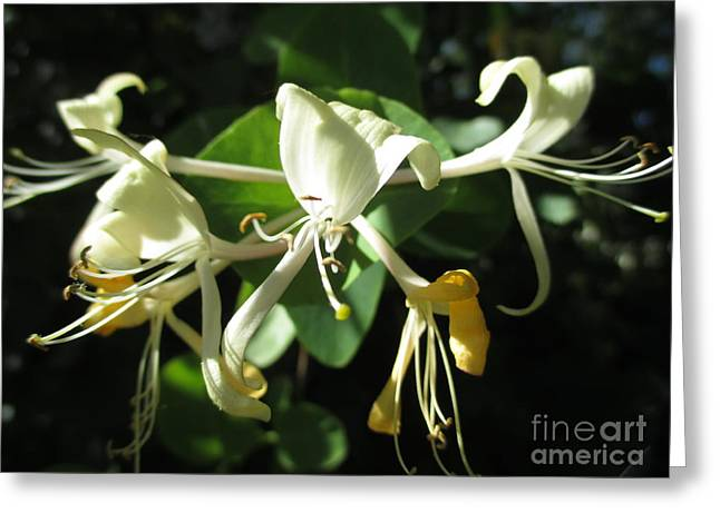 Wild Honeysuckle Greeting Card