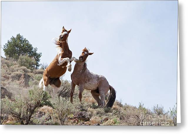 Wild Horse Fight Greeting Card