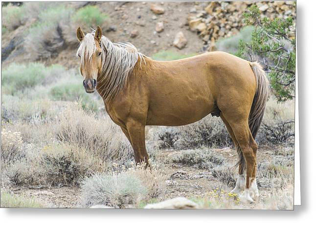 Wild Mustang Stallion Greeting Card