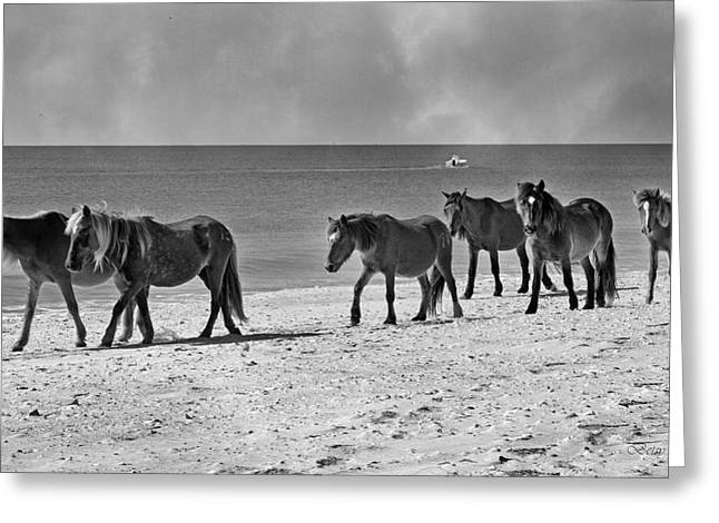 Wild Mustangs Of Shackleford Greeting Card by Betsy Knapp