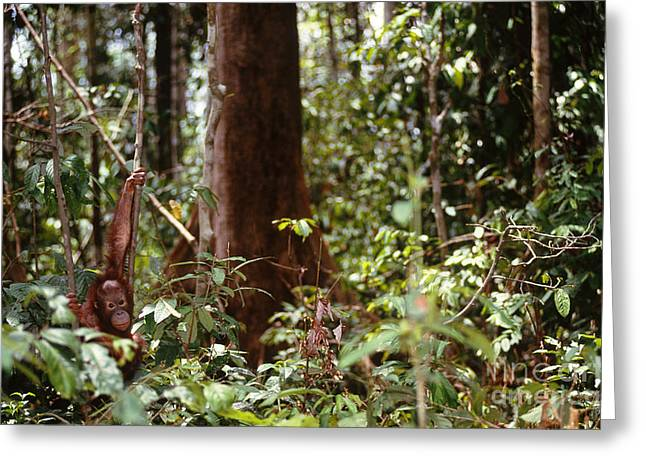 Wild Orangutan Greeting Card