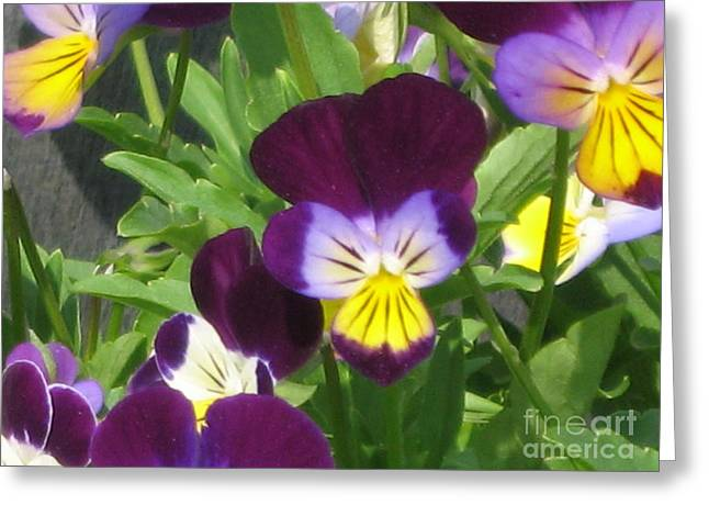 Wild Pansies Or Johnny Jump-ups 1 Greeting Card by Conni Schaftenaar