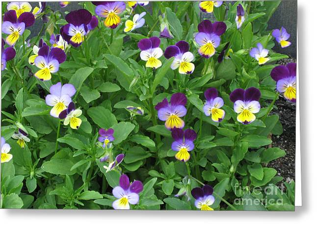 Wild Pansy Or Johnny Jump-up 2 Greeting Card by Conni Schaftenaar