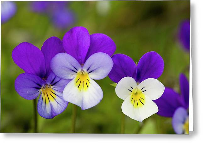 Wild Pansy (viola Tricolor) Greeting Card