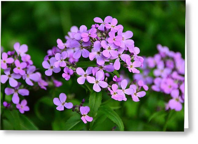 Greeting Card featuring the photograph Wild Phlox by Debra Martz