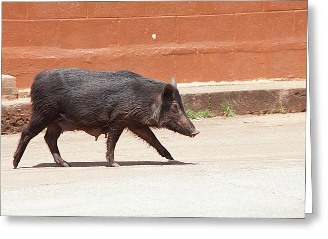 Wild Pig Greeting Card by Jim Edds