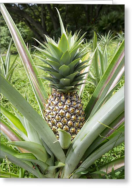 Wild Pineapple Greeting Card by Joe Belanger