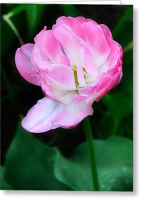 Wild Pink Rose Greeting Card