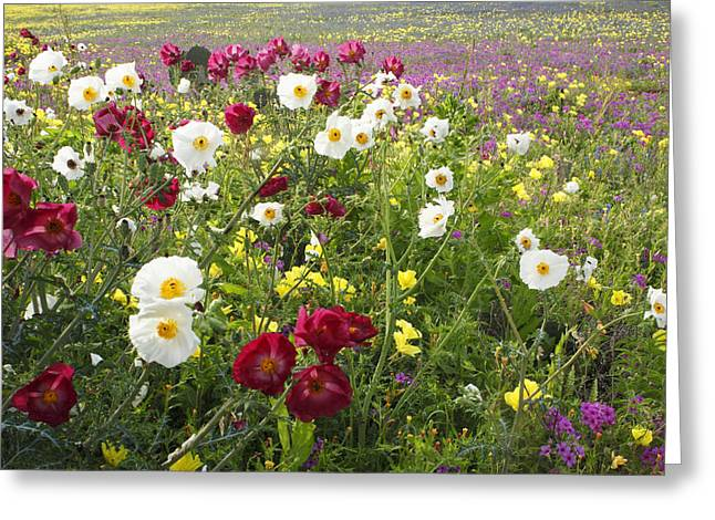 Wild Poppies South Texas Greeting Card