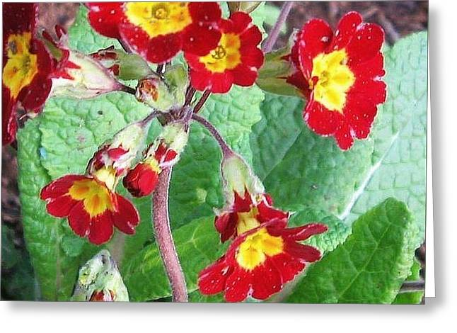 Wild Primroses Greeting Card