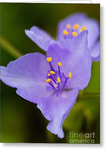 Wild Purple Spiderwort 1 Greeting Card