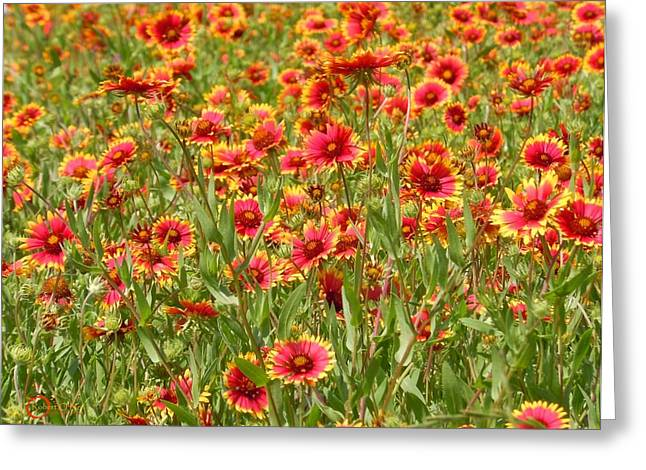 Greeting Card featuring the photograph Wild Red Daisies #1 by Robert ONeil