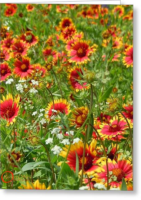 Greeting Card featuring the photograph Wild Red Daisies #2 by Robert ONeil