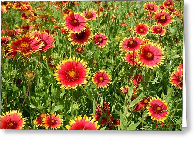 Greeting Card featuring the photograph Wild Red Daisies #4 by Robert ONeil