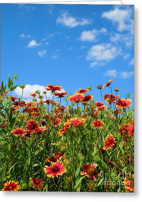 Greeting Card featuring the photograph Wild Red Daisies #5 by Robert ONeil