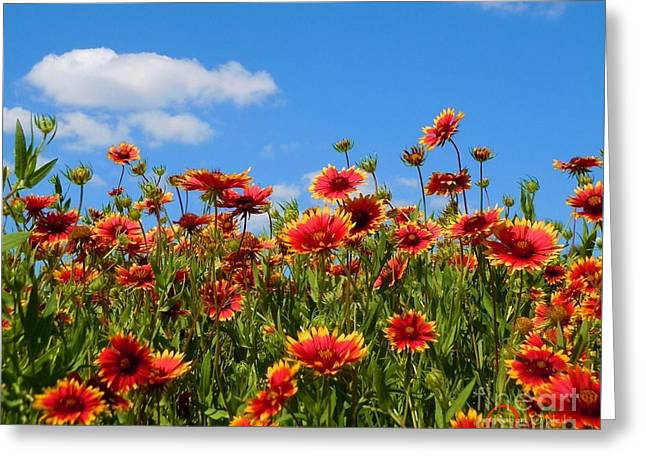 Greeting Card featuring the photograph Wild Red Daisies #7 by Robert ONeil