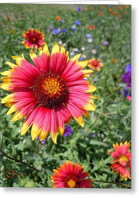 Greeting Card featuring the photograph Wild Red Daisy #1 by Robert ONeil