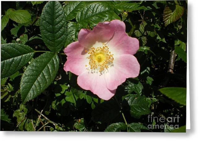Wild Rose Greeting Card by Ann Fellows