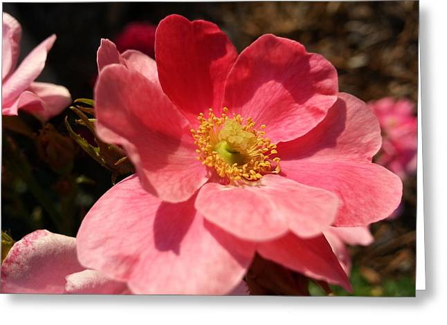 Greeting Card featuring the photograph Wild Rose by Caryl J Bohn