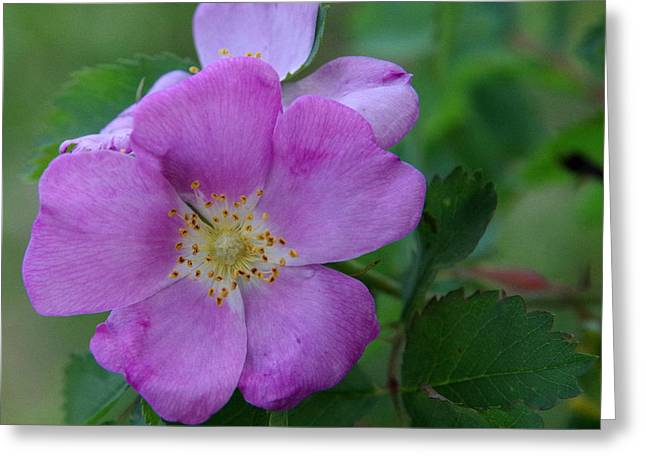 Wild Rose Greeting Card by Harvey Dalley