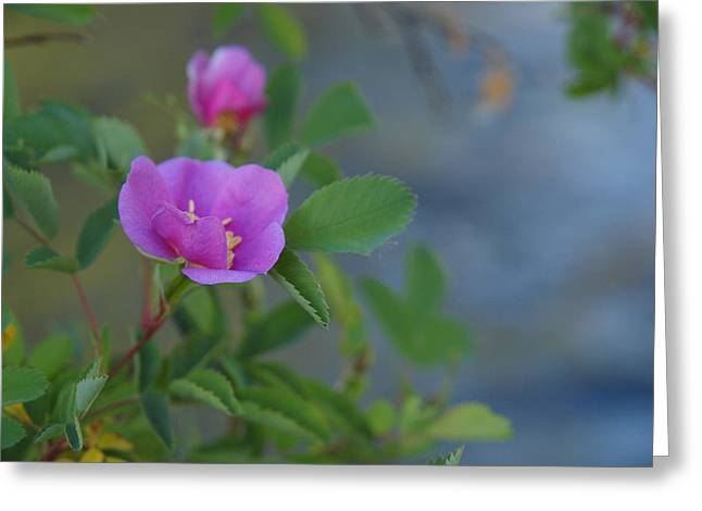 Wild Rose Greeting Card by Jenessa Rahn