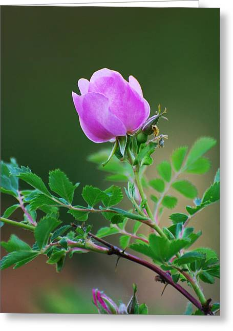 Wild Rose Greeting Card by Kimberley Anglesey