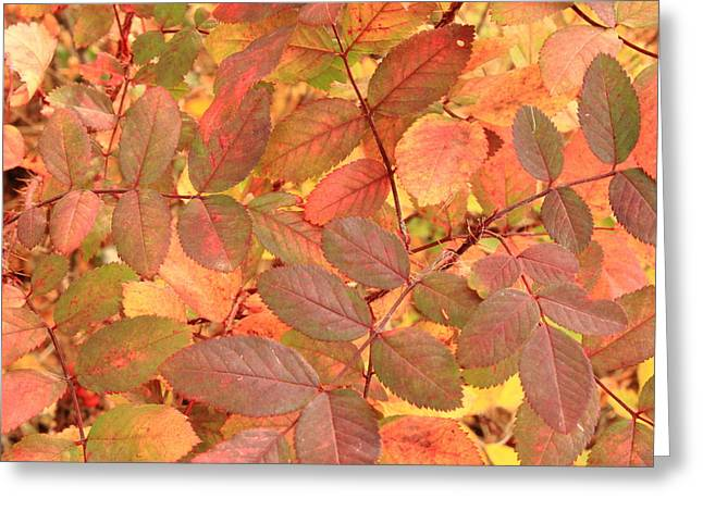 Wild Rose Leaves In Autumn Greeting Card by Jim Sauchyn