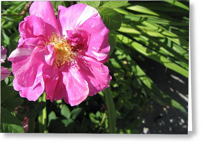 Greeting Card featuring the photograph Wild Rose by Mary Bedy