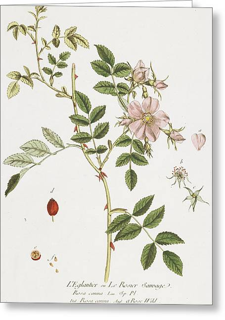 Wild Rose Greeting Card by Nicolas Francois Regnault