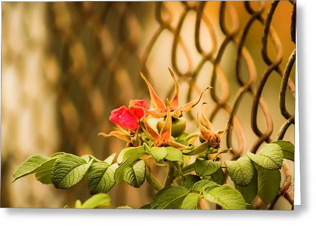 Wild Rose  Greeting Card by Paulina Szajek