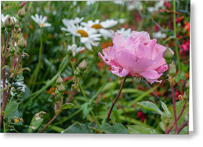 Greeting Card featuring the photograph Wild Rose by Sergey Simanovsky