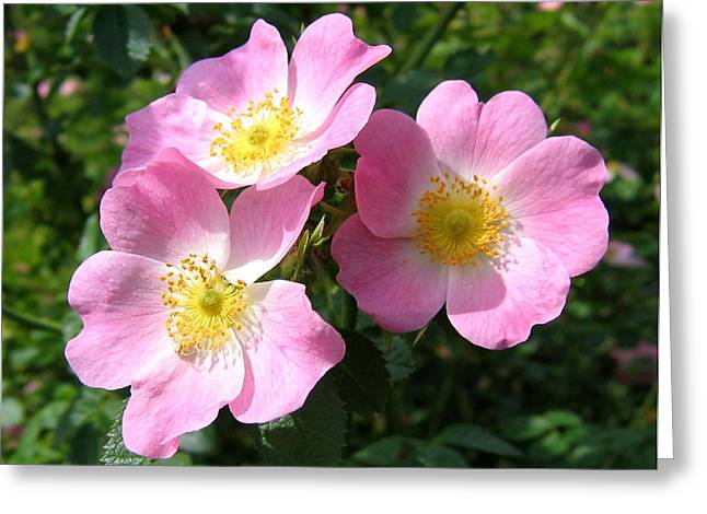 Wild Roses 1 Greeting Card