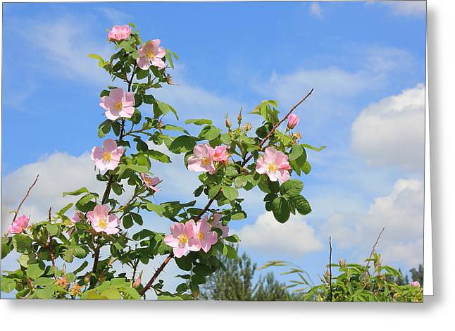 Wild Roses In June Greeting Card