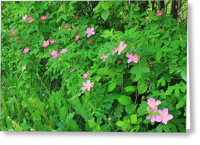 Wild Roses Greeting Card by Jim Sauchyn