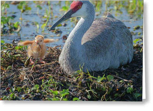 Wild Sandhill Crane Feeding First Colt Greeting Card by Maresa Pryor