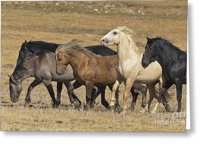 Wild Stallion Herd Pryor Mountain Greeting Card by Yva Momatiuk and John Eastcott
