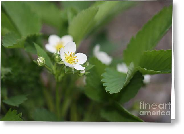 Wild Strawberry Flower Greeting Card