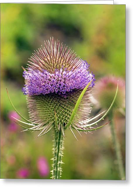 Wild Teasel (dipsacus Fullonum) Greeting Card by Adrian Thomas