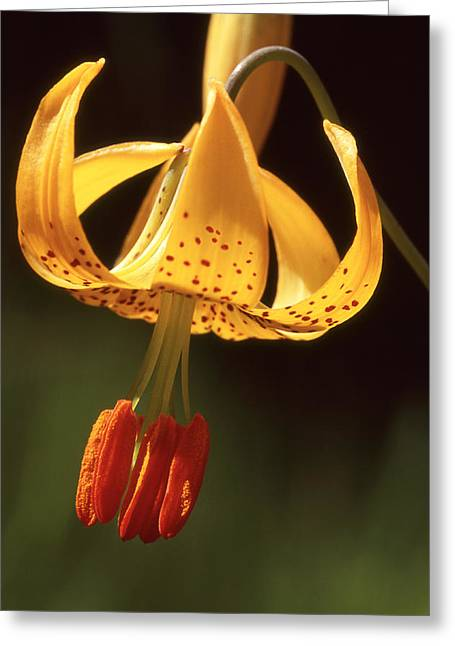 Wild Tiger Lily Greeting Card