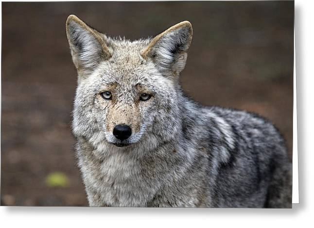 Wild Timber Wolf Greeting Card by Mark Duffy