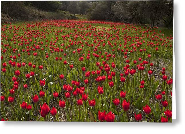 Wild Tulips (tulipa Praecox) Greeting Card