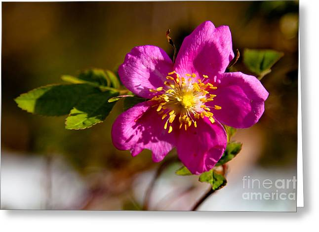 Wild Tundra Rose Greeting Card