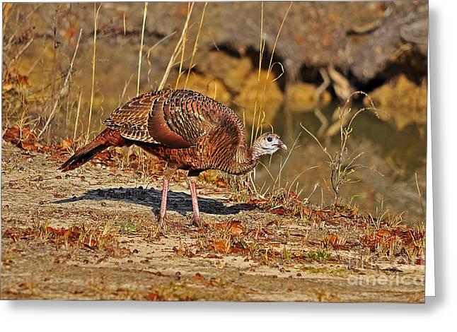 Wild Turkey Greeting Card by Al Powell Photography USA