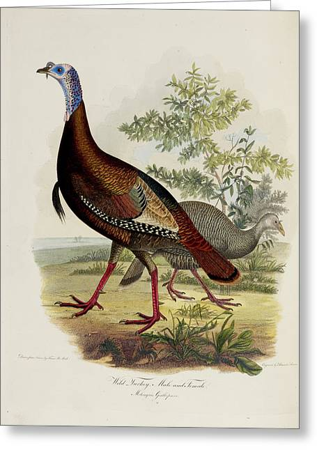 Wild Turkey Greeting Card by British Library