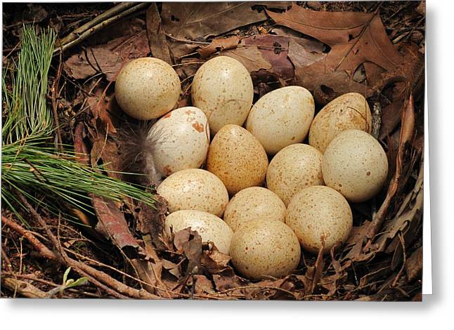 Wild Turkey Eggs In Nest Greeting Card by Doug McPherson