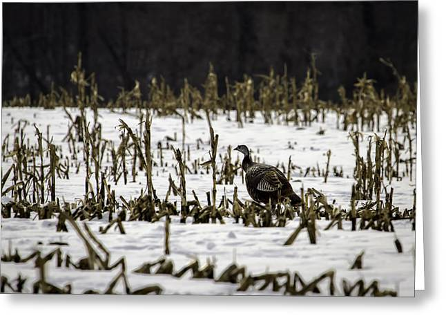Wild Turkey In The Corn Greeting Card by Thomas Young
