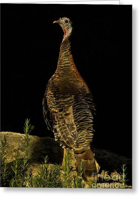 Wild Turkey Meleagris Gallopavo Greeting Card by Ron Sanford